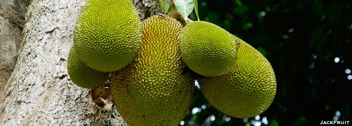 original_1-Jackfruit.jpg