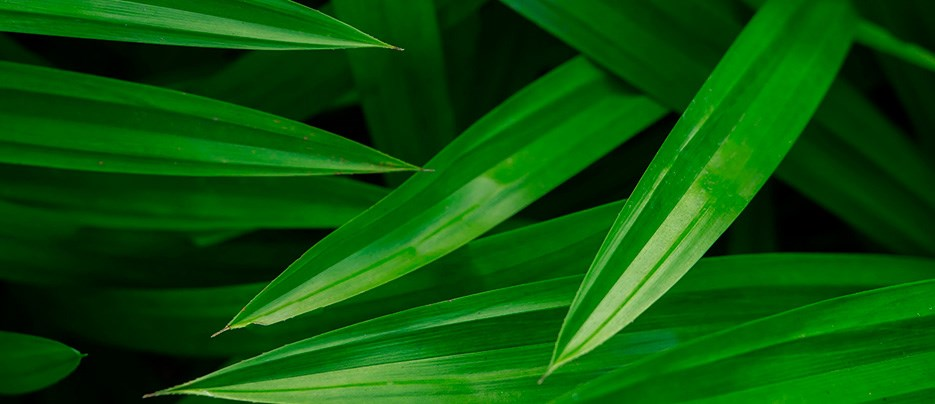 original_Pandan-leaves.jpg