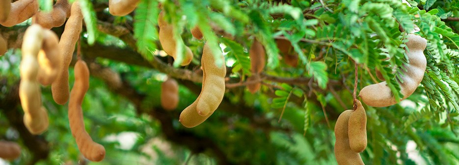 original_Tamarind-tree.jpg