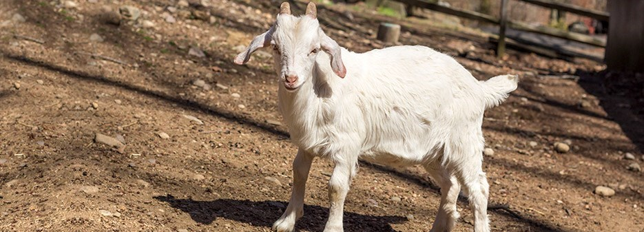 original_K-kinder-goat-breed