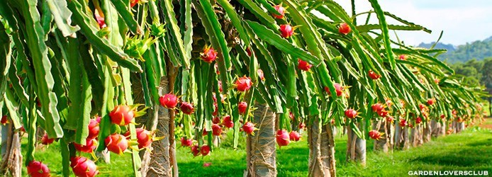 original_M-Dragon-fruit-field