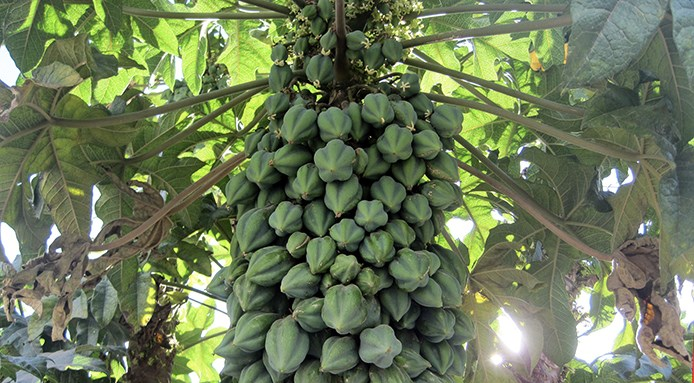papaya-come-cresce