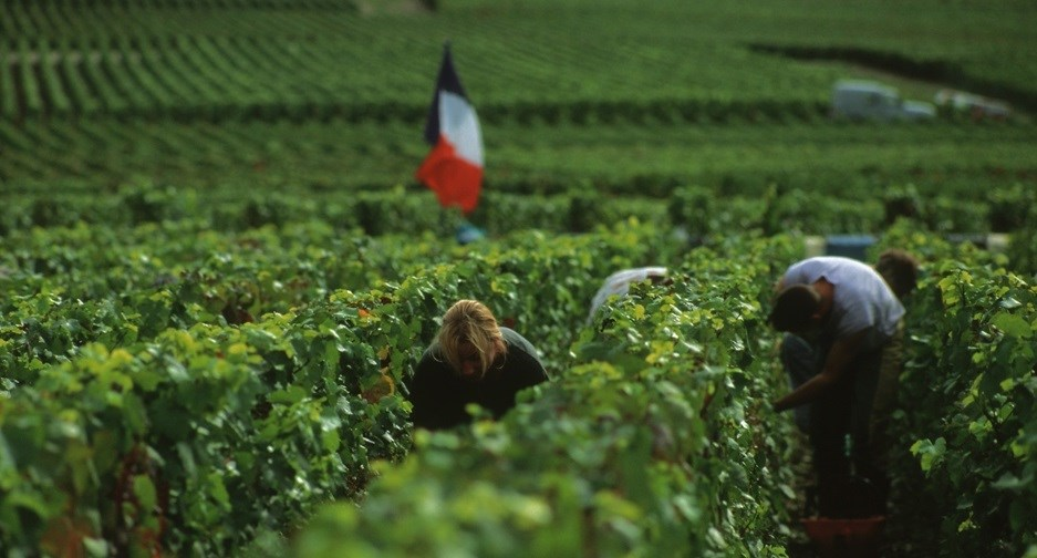 vendemmia in Champagne