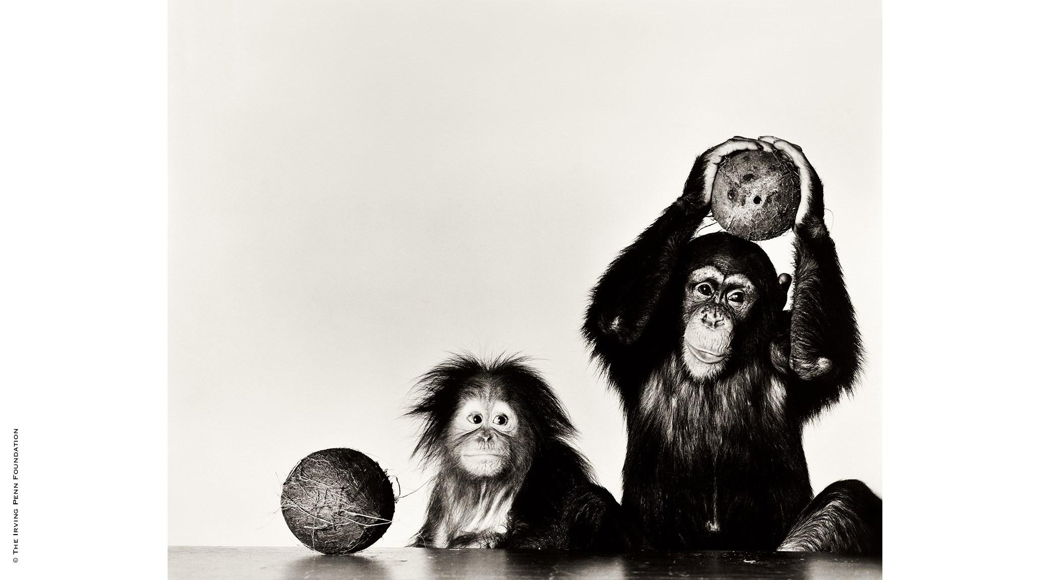 Irving Penn, Orangutan and Chimpanzee