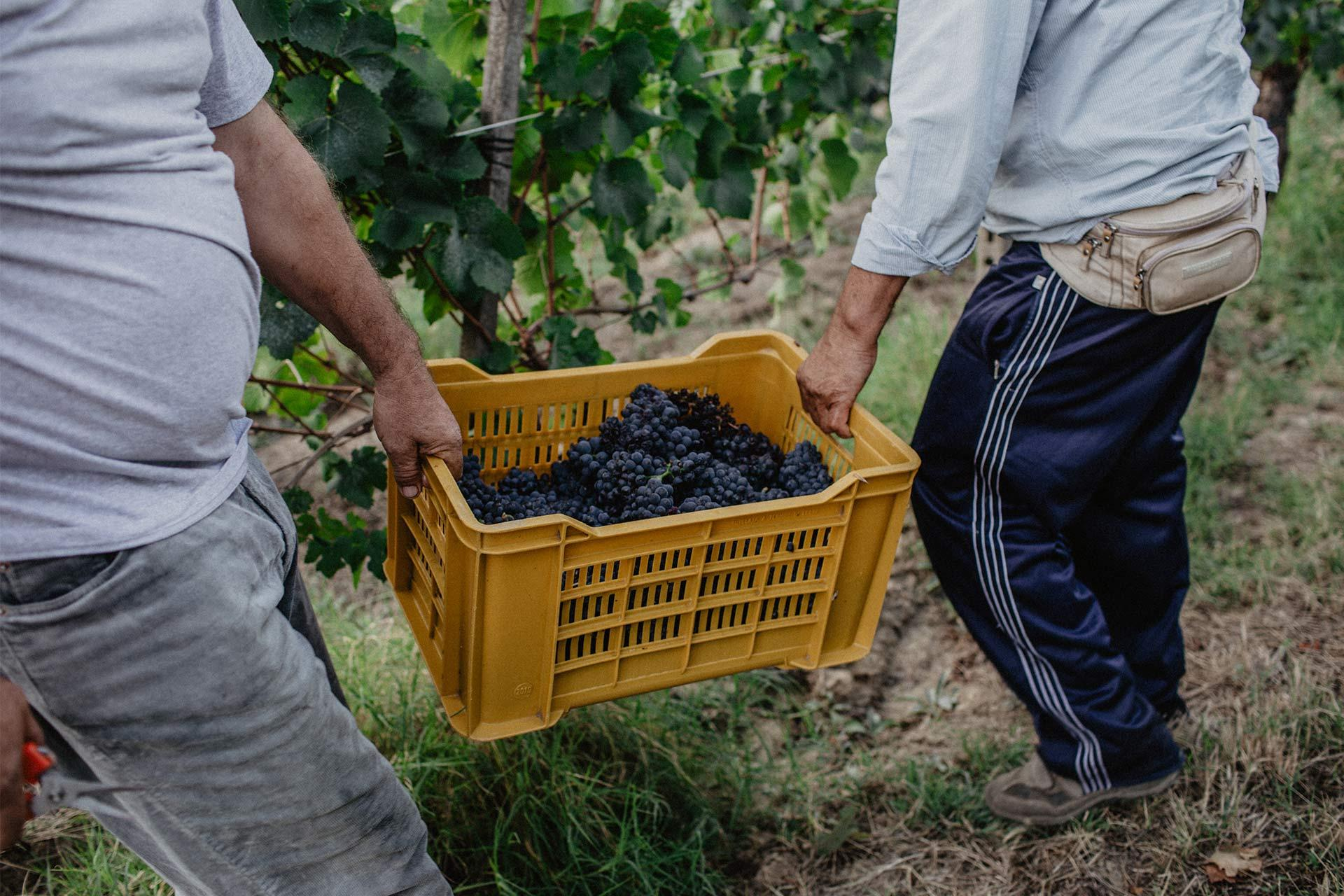 Cesta d'uva vendemmia