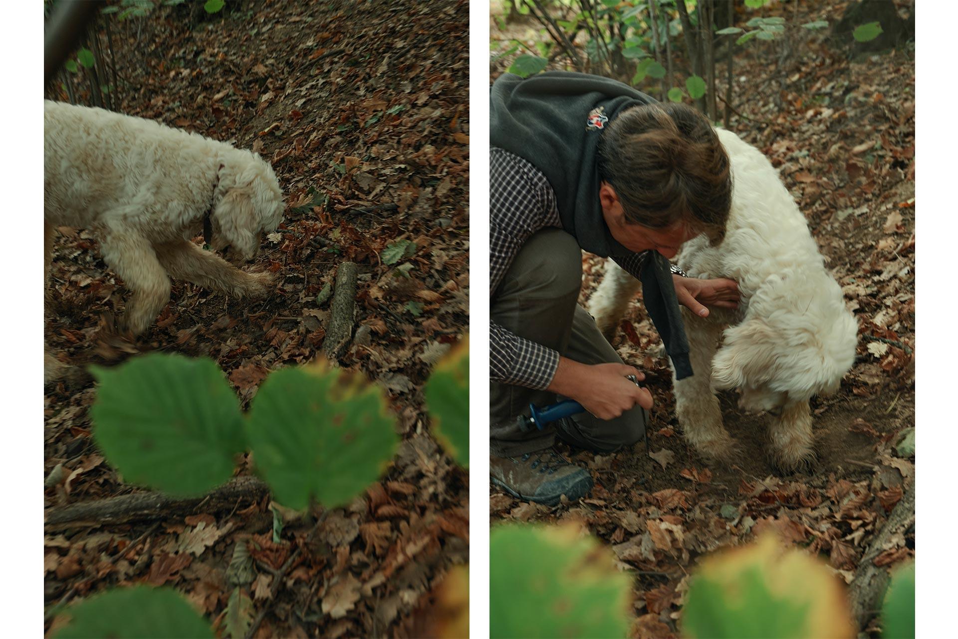 un cane scava alla ricerca del tartufo