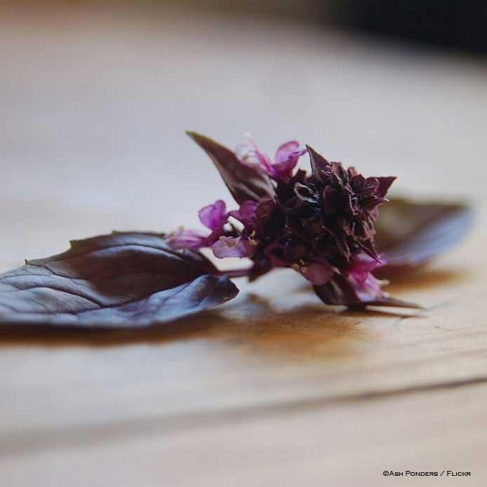 Basilico-black-opal-Ash-Ponders