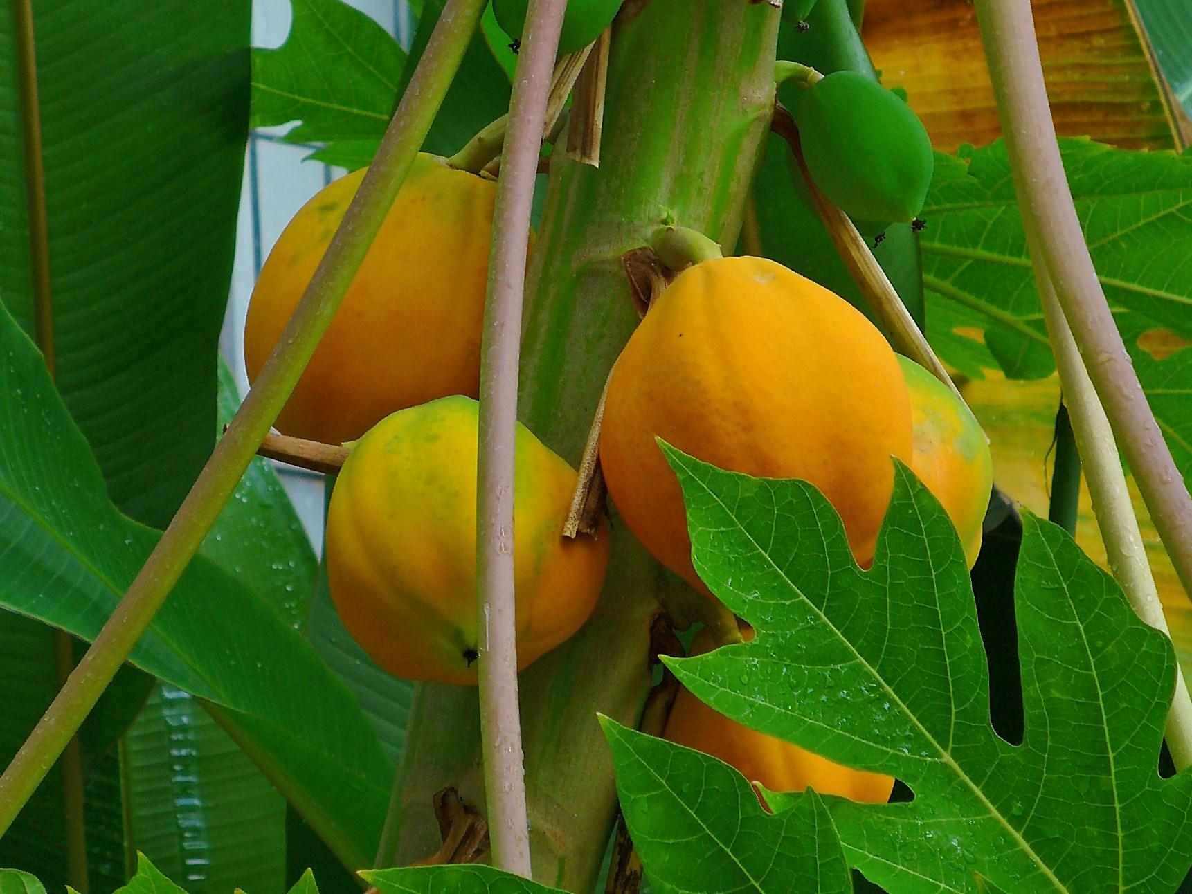 Carica-papaya-005
