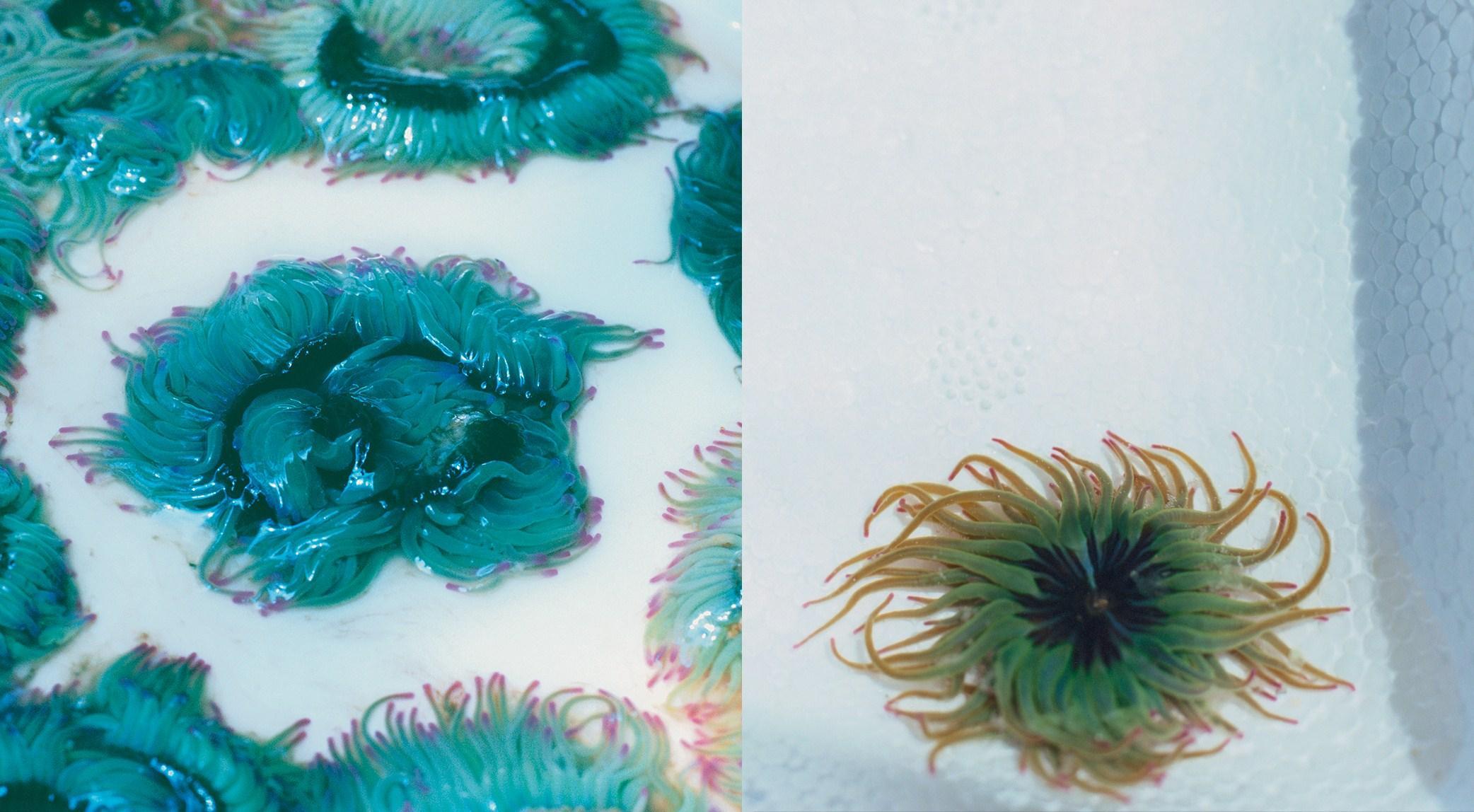 Mostra-Gola-Collin-Anemones--4-