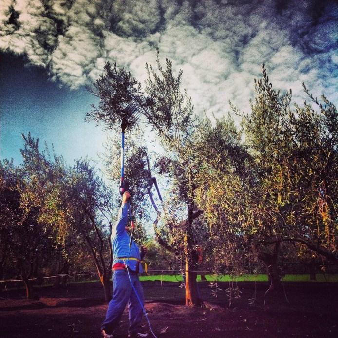 Raccolta-delle-olive-toscane-a-Petaluma-in-California