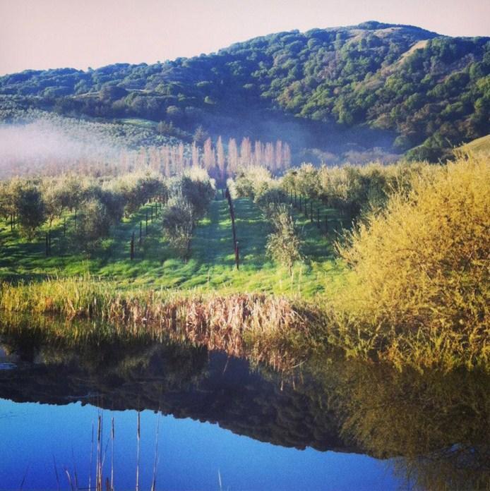 Ulivi-toscani-a-Petaluma-California---Ranch-McEvoy